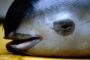 Vaquita domuz balığı için 'Yunus operasyonu'