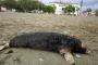 Ölen Akdeniz Foku sahile bulundu