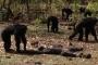 Şempanzeler, eski despot liderlerini öldürüp yedi
