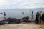 Yeni Zelanda'da karaya vuran 300 balina öldü