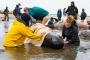 Yeni Zelanda'da 400 balina kıyıya vurdu!