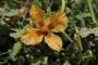 HES tehdidindeki Alakır'da yeni bitki türü: Alakır Gelinciği