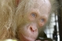 İlk kez karşılaşılan albino orangutan korumaya alındı