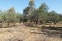 117 milyon zeytin ağacı için idam fermanı