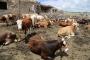 Kasaplardan Fakıbaba'ya: Et ithalatı çözüm değil
