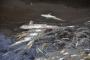 Karacabey'de korkutan balık ölümleri