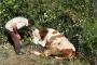 Ormanda doğum yapan inek 3 gün sonra kurtarıldı