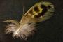 'Dünyanın en gizemli kuşu'na ait tüy bulundu
