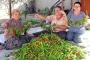 Edirne'de 'acı' hasat başladı