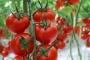 Rusya, Türkiye'den domates ithalatına sınırlı izin verdi