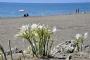 Fethiye endemik kum zambaklarıyla süslendi