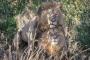Eşcinsel aslanlar, Kenya'nın 'ahlak polisi'ni şaşırttı!