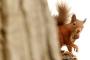 Kızıl sincapları evlerine döndürme projesi başarılı oldu