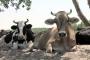 Üretici köylüye yeni darbe: İnek, yoğurt, peynir ithali