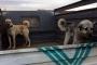 Sarıoğlan'da köpek dövüştüren 5 kişiye para cezası
